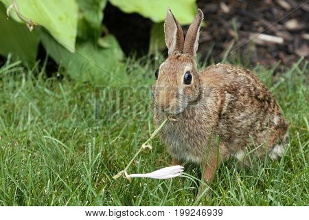 A rabbit sitting on the grass while eating a flower that it has just taken from my neighbors garden