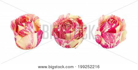 Set of bicolored roses isolated on a white. Full depth of field.