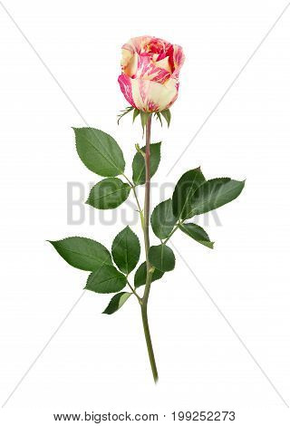 Bicolored rose in full depth of field. Isolated on a white.
