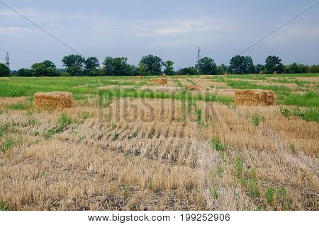 Agriculture field with sky. Rural nature in the farm land. Straw on the meadow. Wheat yellow golden harvest in summer.