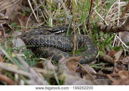 Common European Adder in leaf litter (Vipera berus)
