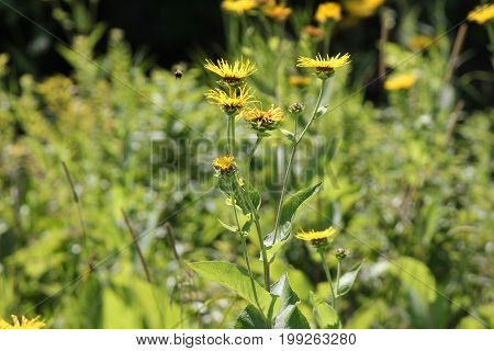 Yellow flowers of medicinal plant Elecampane (Inula helenium) or horse-heal in bloom in a clearing in front of a forested area..