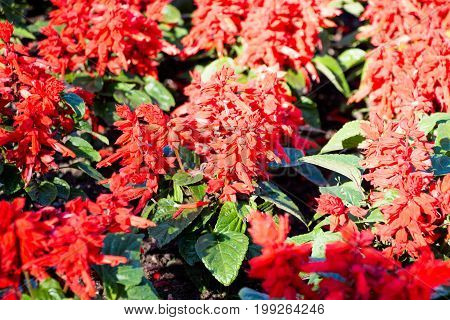 Many red flowers in the garden are lit by the bright sun