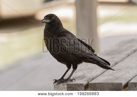An American Crow (Corvus brachyrhynchos) perched on a picnic table in Crawford's Notch New Hampshire, pausing as it scavenges for food.