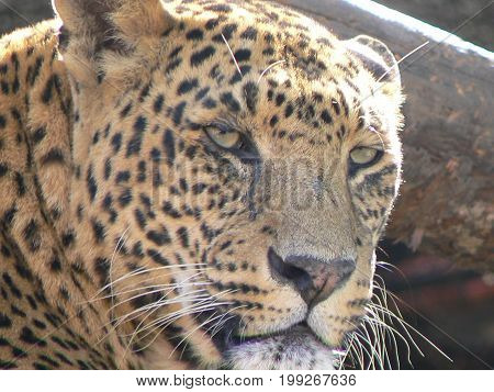 Big Cat Leopard (Panthera pardus) head close-up, Nepal