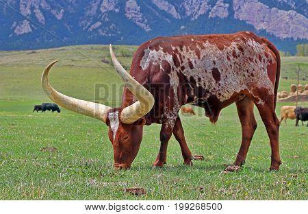 A longhorn steer grazes on a ranch near Boulder, Colorado