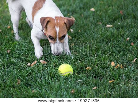 A cute dog Jack Russell Terrier playing with a small Tennis ball on green lawn outdoor at summer day