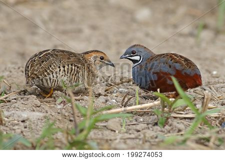 King Quail Blue-breasted Quail Coturnix Chinensis Male And Female Cute Birds Of Thailand