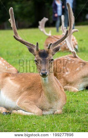 Close View Of A Fallow Deer