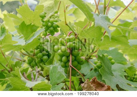 Young Green Grapes growing on a grapevine