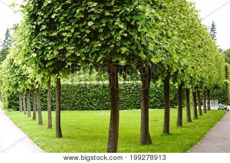 Garden trimmed trees. Garden's geometry. Bright summer landscape for design, prints, posters, interior decoration. Bushes and green trees view in antique Catherine park, Pushkin, Saint Petersburg.