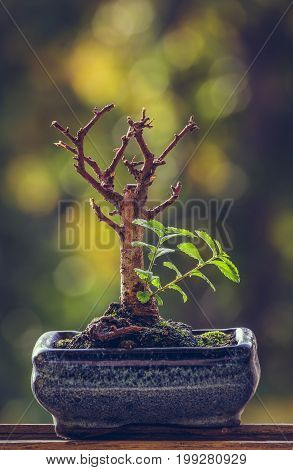 Dry Bonsai Tree With Fresh Green Sprigs
