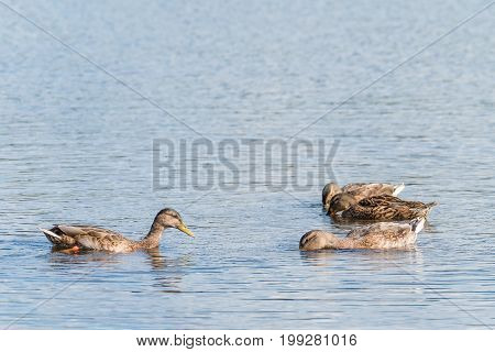 Four female mallard swimming and seeking food