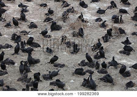 Black Cormorant  (Phalacrocorax carbo) in San Francisco Bay. California. USA