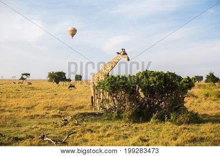 animal, nature and wildlife concept - giraffe eating tree leaves and air balloons flying in maasai mara national reserve savannah at africa