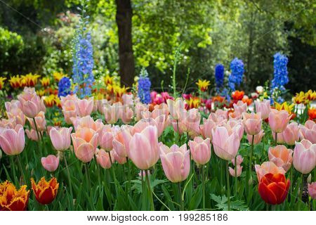 Magnificent light drenched fully bloomed garden full of color and a wide variety of tulip species.