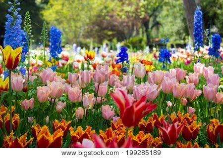 Magificent light drenched fully bloomed garden full of color and a wide variety of tulip species.