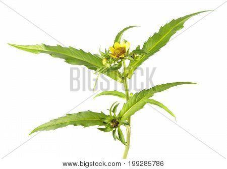 Nodding beggarticks (Bidens cernua) isolated on white background. Medicinal plant