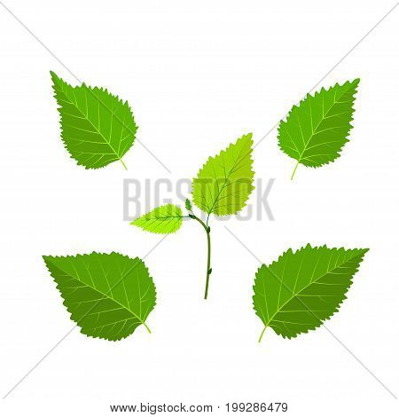 Birch green leaves and sprout set vector illustration