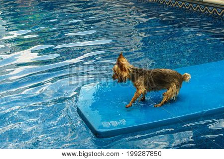 Yorkshire terrier, yorkies playing in the Pool