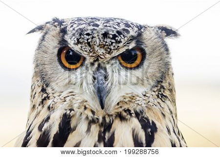 Portrait from young female Eagle Owl - Outdoor Shot