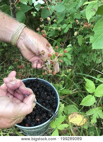 Naturalist picking wild Blackberries and putting them in a bucket