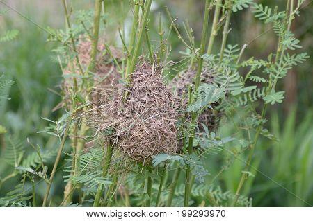 close up bird nest on sesbania tree in nature garden