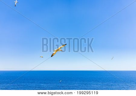 Flying Gannet Birds Isolated Against Blue Sky And Sun In Perce, Gaspesie, Gaspe Region Of Quebec, Ca