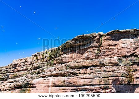 Flock Of Gannet Birds Perched And Flying By Bonaventure Island Cliff In Perce, Gaspesie, Gaspe Regio