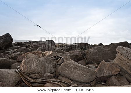Wild Sea Lion Resting On Rocks