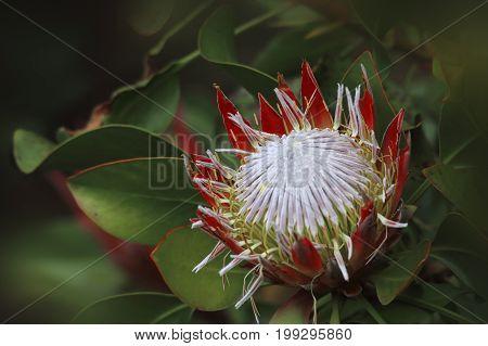 Protea Sugarbush Proteaceae