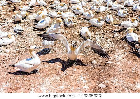 Closeup Of White Gannet Bird Nesting Looking Funny Twisting Neck On Bonaventure Island In Perce, Que