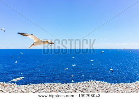 Overlook Of White Gannet Birds Colony Nesting On Cliff On Bonaventure Island In Perce, Quebec, Canad
