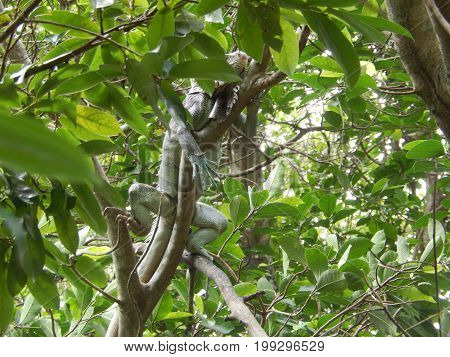 This exotic lizard is called iguana, observing from the branches of a tree in the Amazon jungle