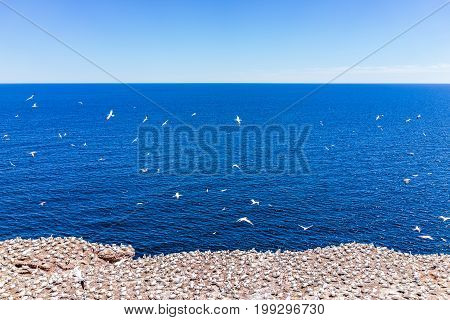 Overlook of white Gannet bird colony nesting on cliff on Bonaventure Island in Perce Quebec Canada by Gaspesie Gaspe region
