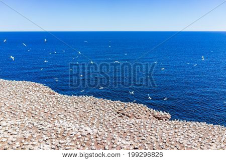 Overlook Of White Gannet Bird Colony Nesting On Cliff On Bonaventure Island In Perce, Quebec, Canada