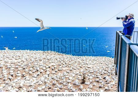 Perce Canada - June 6 2017: Photographer man taking pictures of Gannet birds colony nesting on cliff on Bonaventure Island in Quebec Canada by Gaspesie Gaspe region
