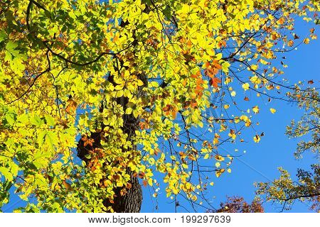 Autumn tree colors. Colorful deciduous tree in the fall.