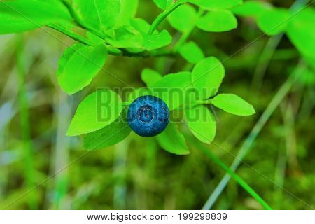 Ripe berry blueberry with leaves on the bush, closeup