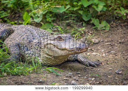 Alligator on dirty near shrub in Rhode Island