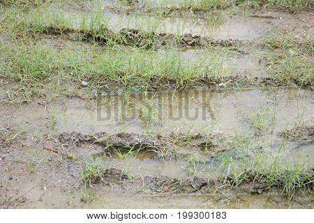 green grass on wet soil in nature garden