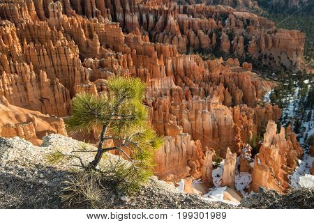 Small Pine Tree In Front Of Expanse Of Hoodoos
