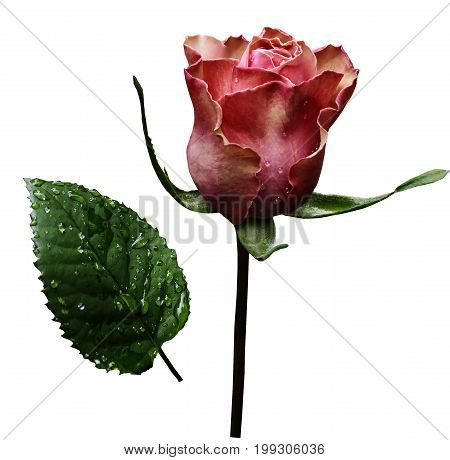 Pink rose on white isolated background with clipping path. No shadows. Closeup. A flower on a stalk with green leaves after a rain with drops of water. For flowers design. Side view. Nature.