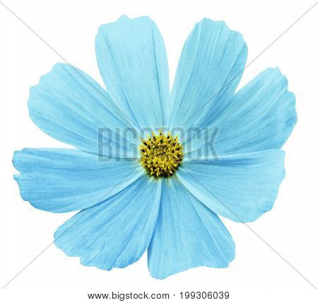 Turquoise flower Kosmeja white isolated background with clipping path. No shadows. Closeup. Nature.