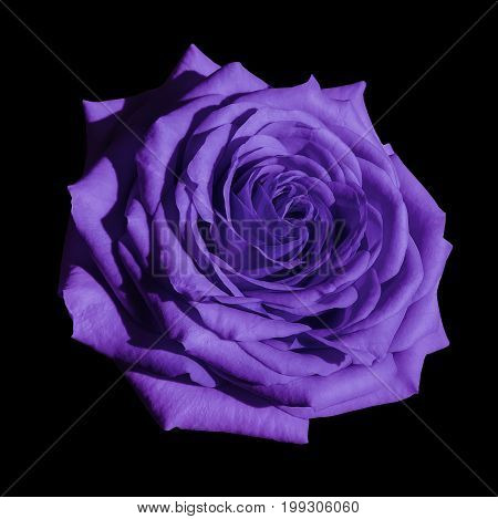 Violet rose flower black isolated background with clipping path. Closeup no shadows. Nature.
