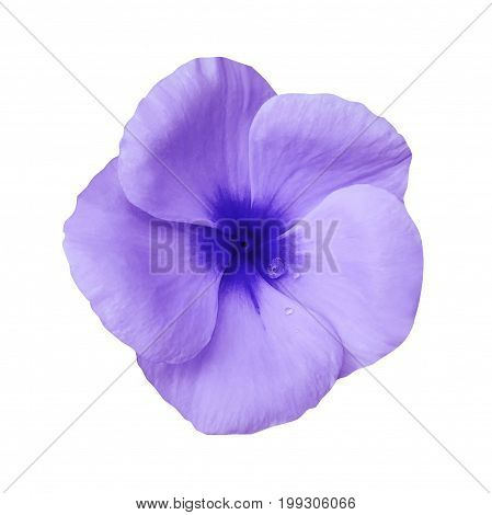 violet flower on isolated white background with clipping path. Closeup. Beautiful purple flower Violets for design. Nature.