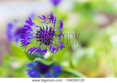 Macro Closeup Of Blue Cornflower Flower Growing In Meadow Showing Detail And Texture