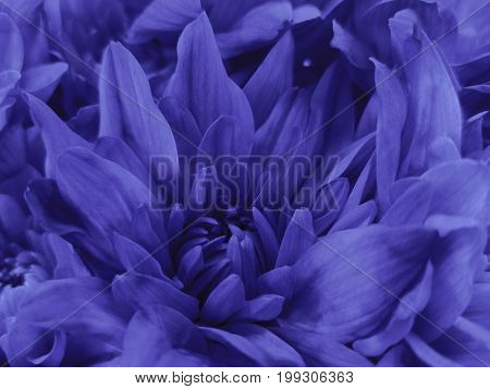 Floral violet beautiful background of Chrysanthemums. Wallpapers of blue-purple flowers. Closeup Nature.