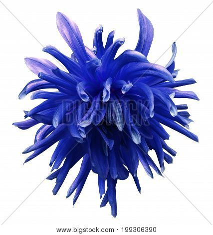 Blue dahlia flower on white isolated background with clipping path no shadows. Closeup. Nature.