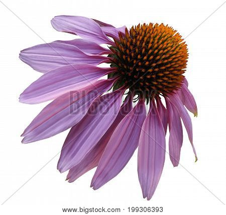 Flower purple Chamomile on white isolated background with clipping path. Daisy violet-orange for design. Closeup no shadows. Nature.